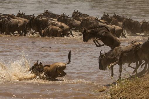 wildebeest-crossing-1-2