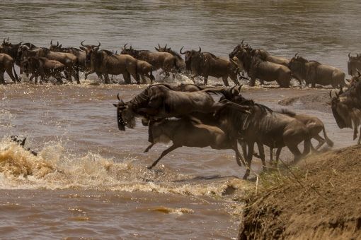 wildebeest-crossing-1-4