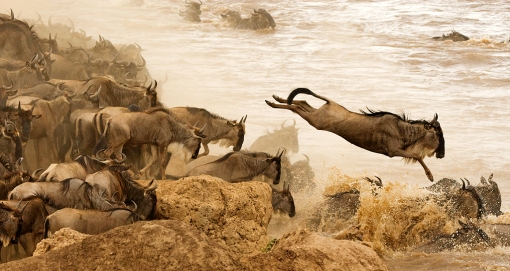 Wildebeest crossing leap