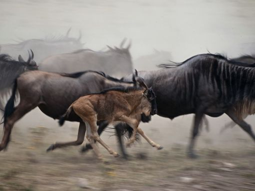 wildebeest-Kenya_36895_990x742