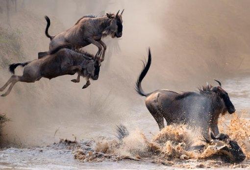 wildebeest-leaping_2059202i