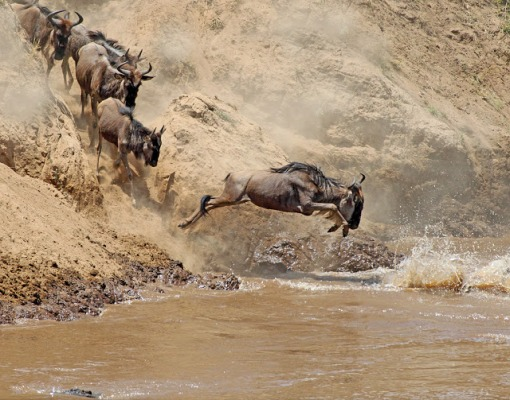 Wildebeest river crossing and crocodile