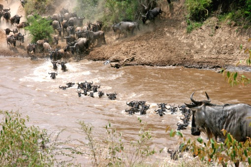 Wildebeest_crossing_river_-East_Africa