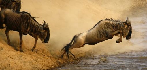 wildebeest_jumping_762x365