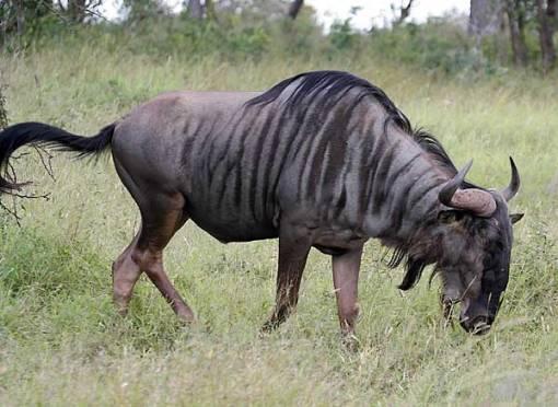 wildebeest_knp-9120-g