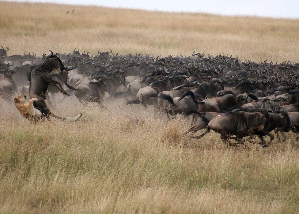 wildebeest_migration