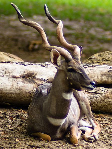 450px-Male_Lesser_Kudu