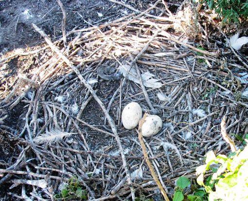 738px-American_White_Pelican_Nest