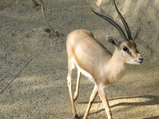 800px-Slender-horned_gazelle_