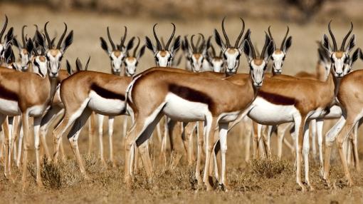 Animal-Gazelle-wallpaper
