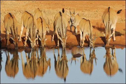 Elands-Drinking-Water