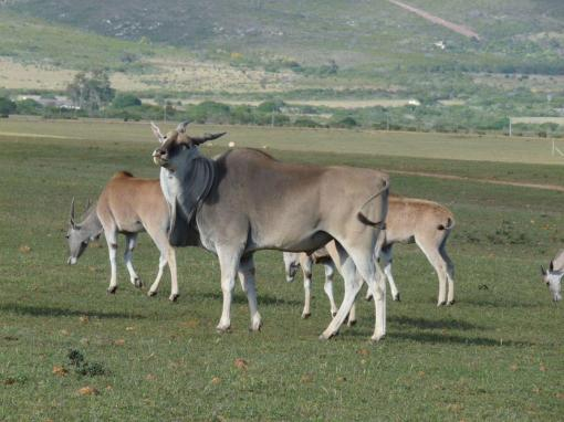 Elands-In-The-Field