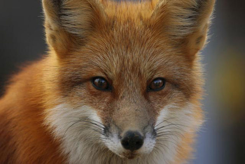 red fox face and - photo #1