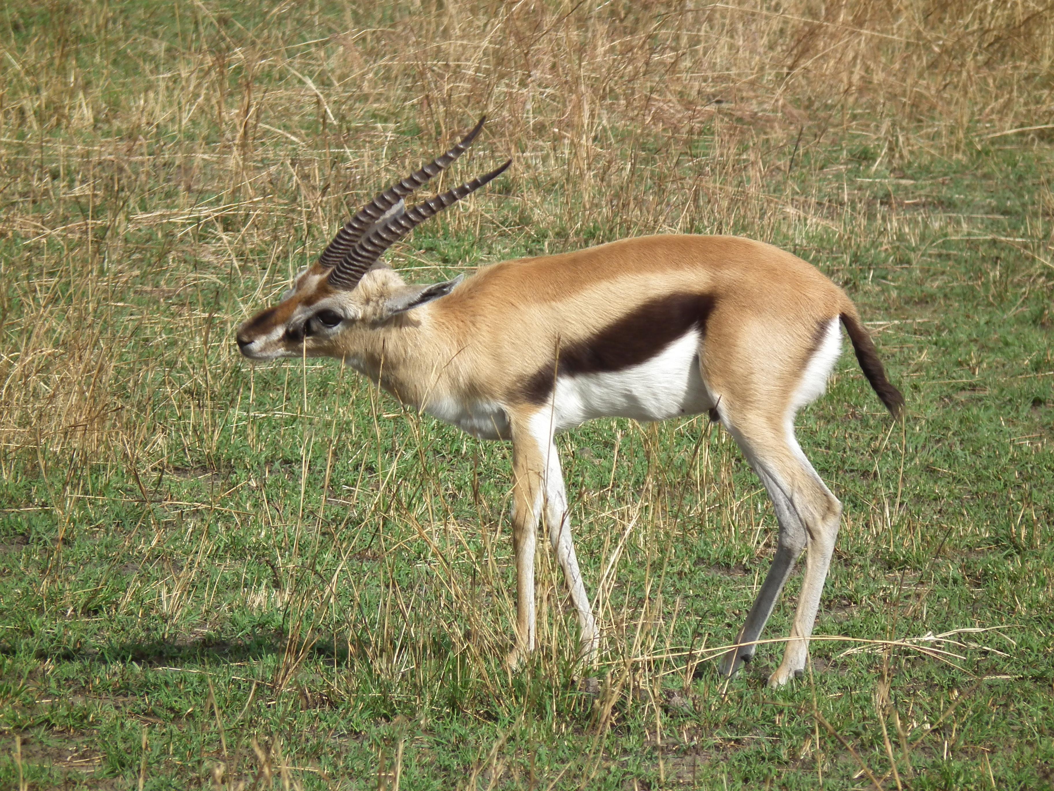Giving Birth Thomsons Gazelle