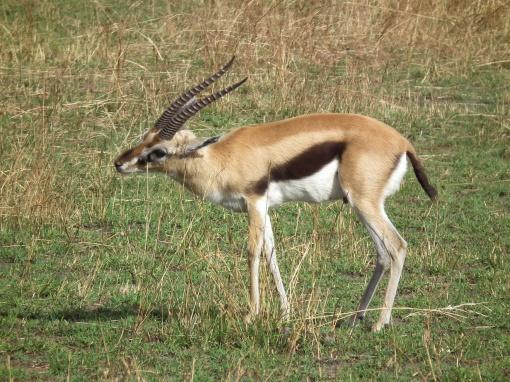 Gazella_thomsonii_Thomsons_Gazelle_in_Tanzania_2573_