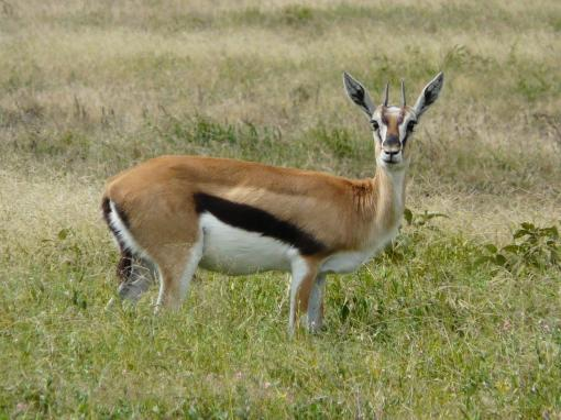 Gazelle-Standing-In-Grass