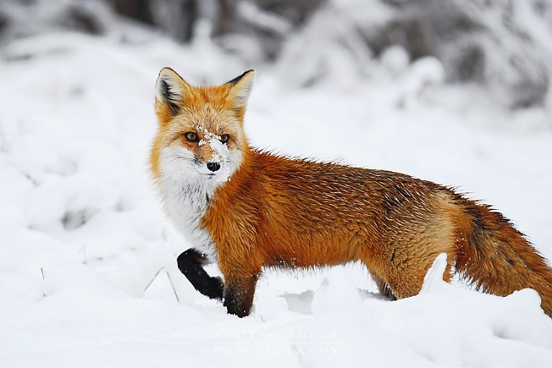 The Red Fox Vulpes Vulpes furthermore Thewritingrealm Personality Attribute And as well Artificial Intelligence Engineering Schools also Cari Tuna besides Cia Internship Qualifications. on animal intelligence areas