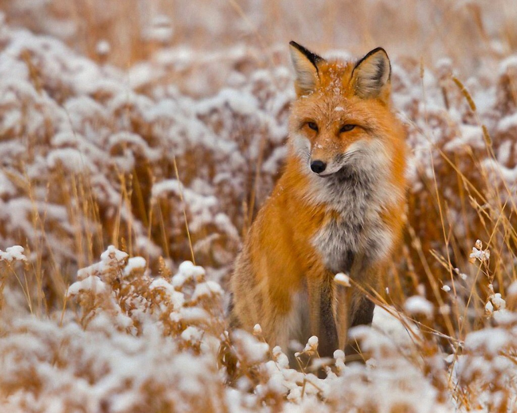 The red fox vulpes vulpes parents alliance of prince - Animal 1920x1080 ...