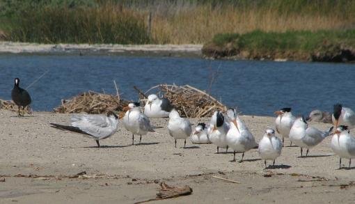 img_6047-royal-terns-1-begging-cu1