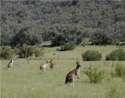 Kangaroos_Maranoa