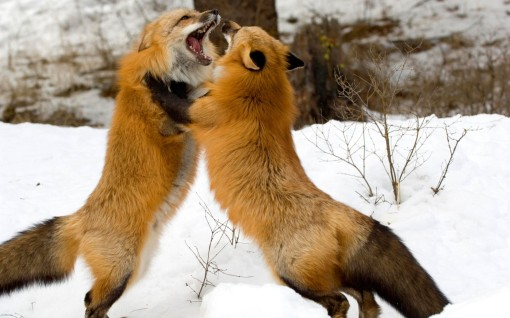 Montana-Red-Fox