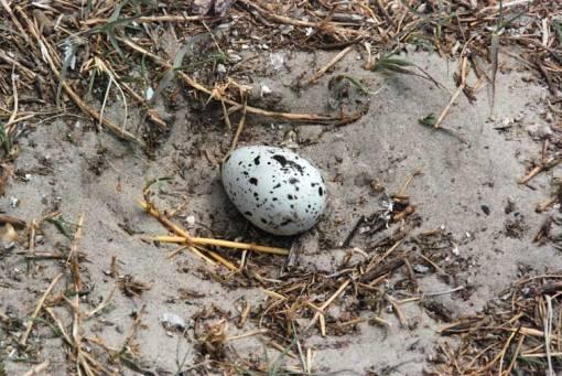 n083x-royal-tern-egg
