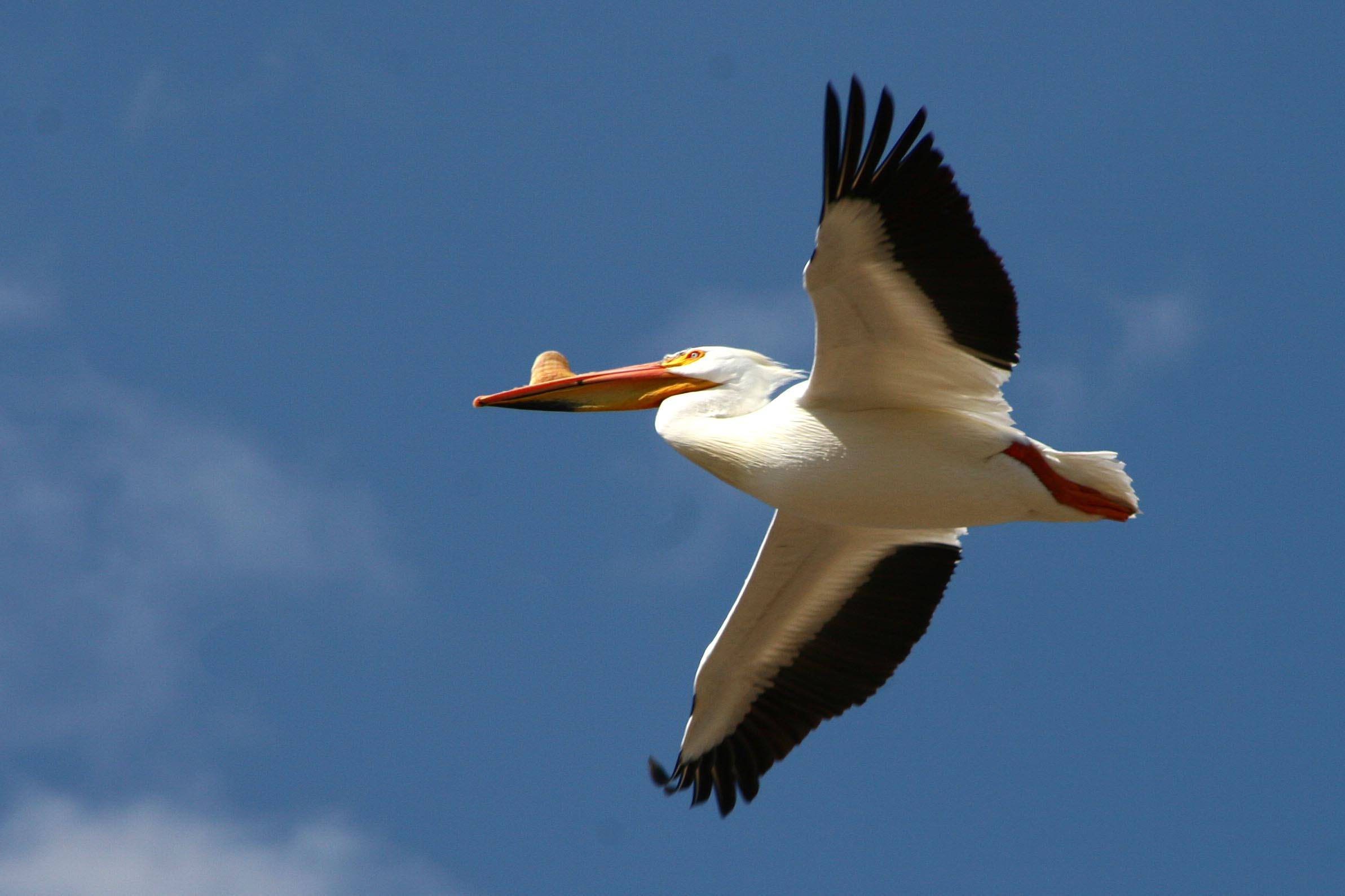 pelican-american-white-2008-04-14-at-nelson-lake