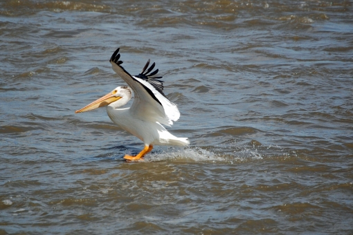 Pelican-landing-in-Fort-Smith-Rapids-of-the-Drowned