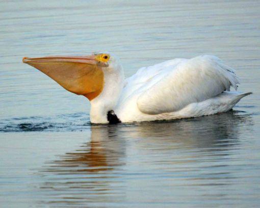 pelican-wallaper-1