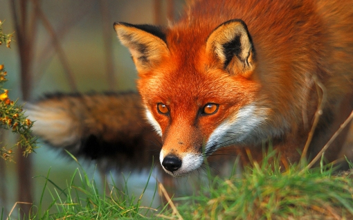 red-fox-eyes