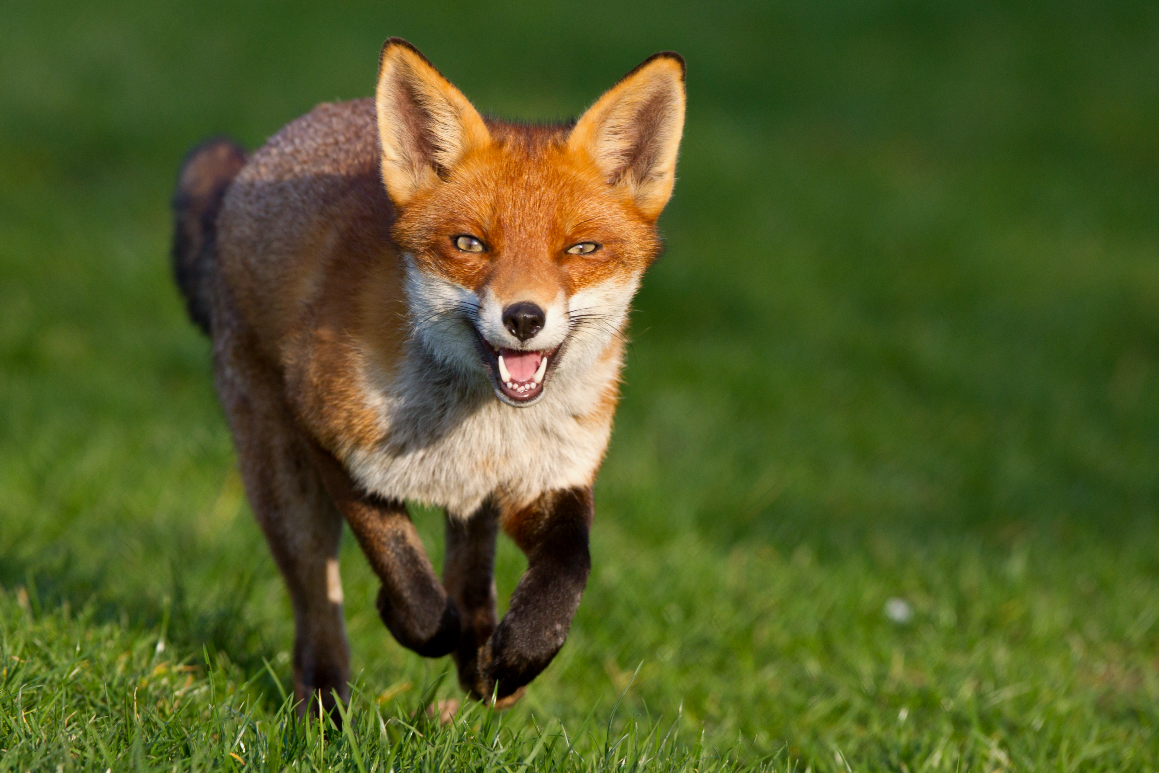 predators of the red fox include humans bears wolves and coyotes