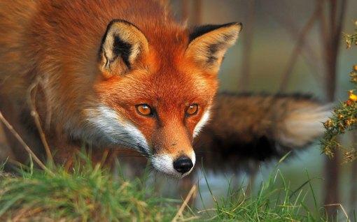 red-fox2