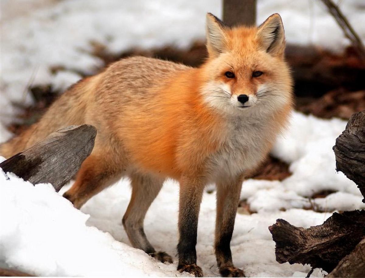 Red Fox Nude Photos 79
