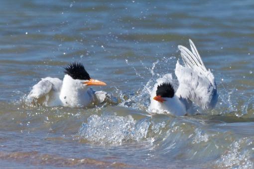 Royal Tern, Murrells Inlet, SC 4-2-13-1805