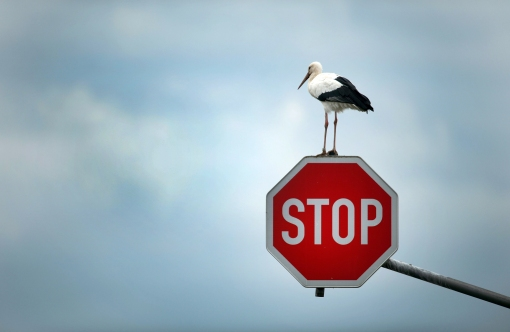 White Stork on stop sign