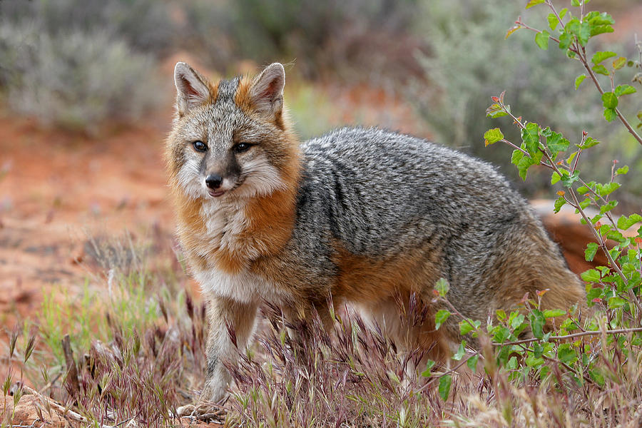 The Grey Fox Trot Dewain Maney