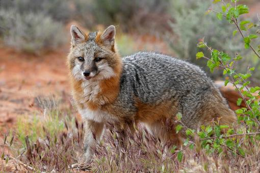 the-grey-fox-trot-dewain-maney