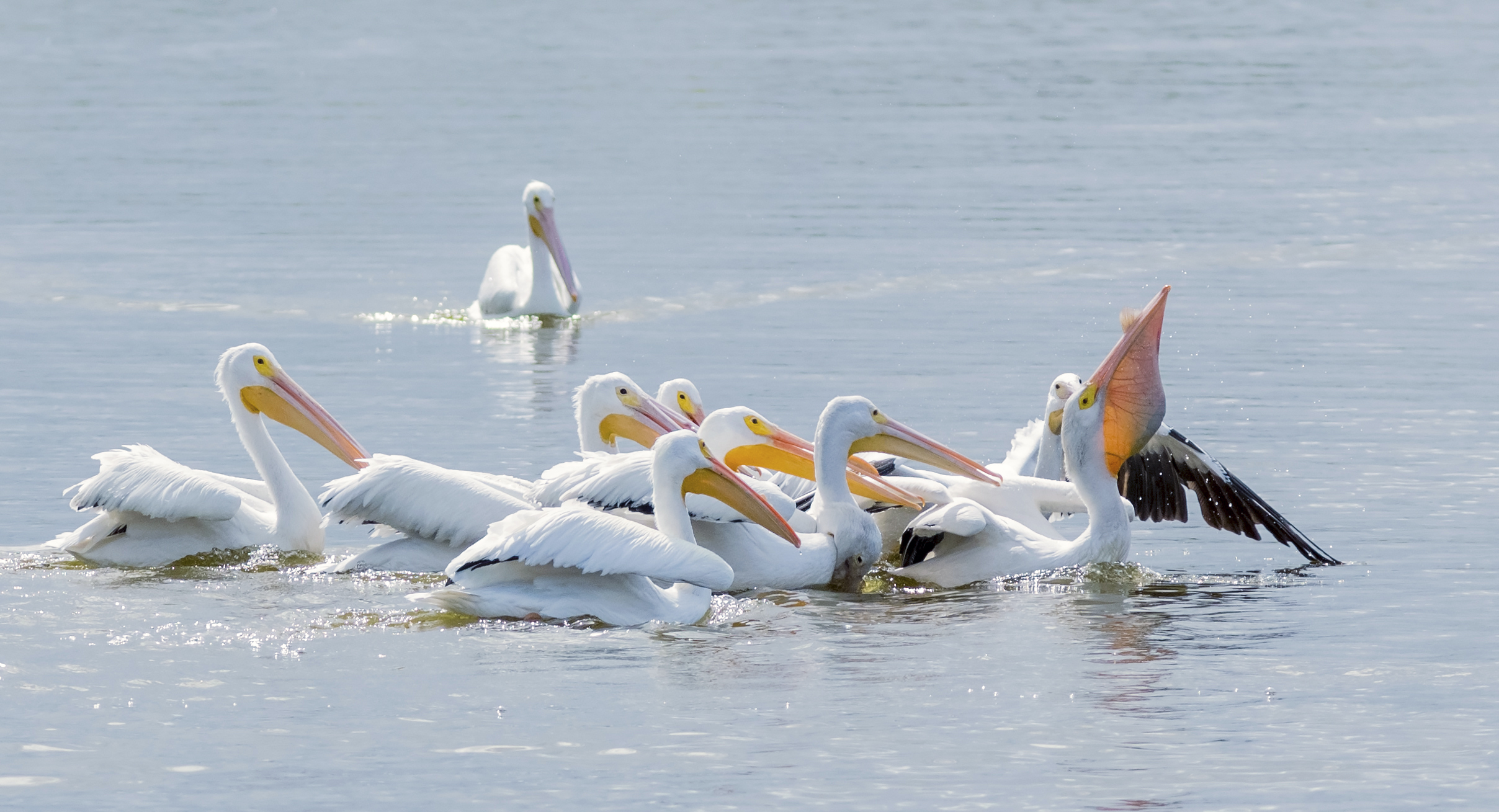 white-pelican-swallowing-a-carp