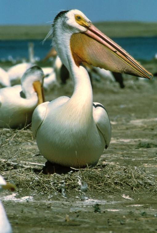 White_Pelican
