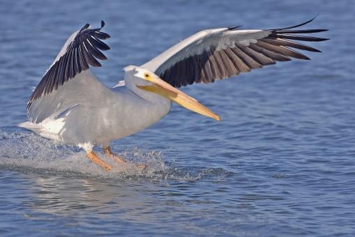 White_pelican_-_natures_pics