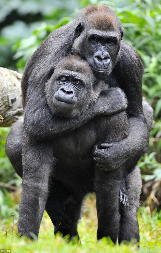 Gorilla Help Change The World The Future Of The County