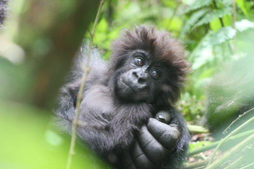 gorillas-4