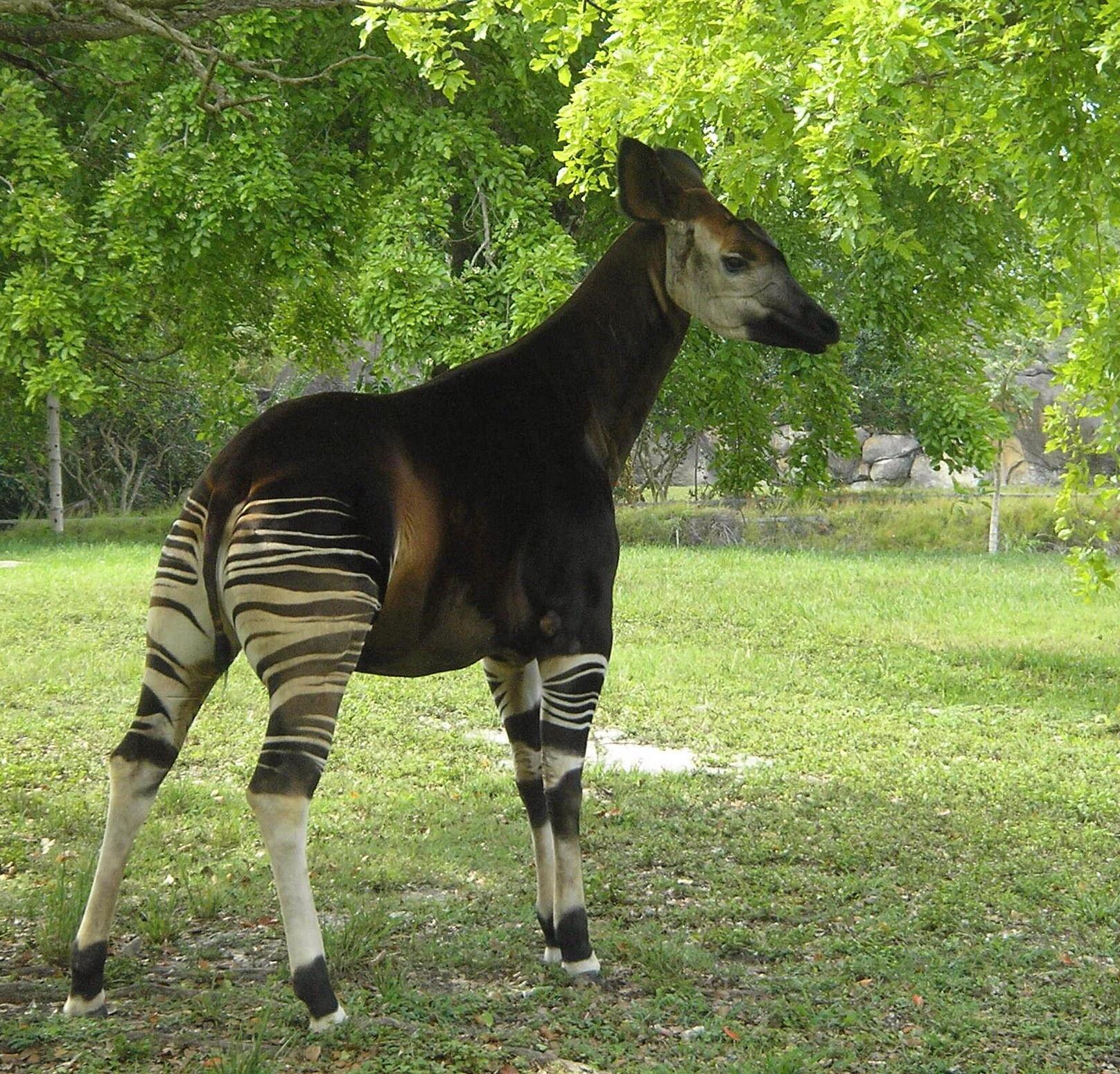 The okapi (Okapia johnstoni). | pgcps mess - Reform ...