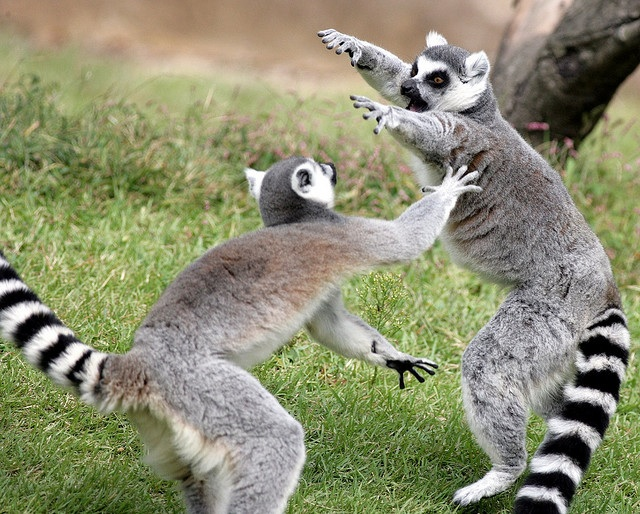 the ringtailed lemur lemur catta pgcps mess reform