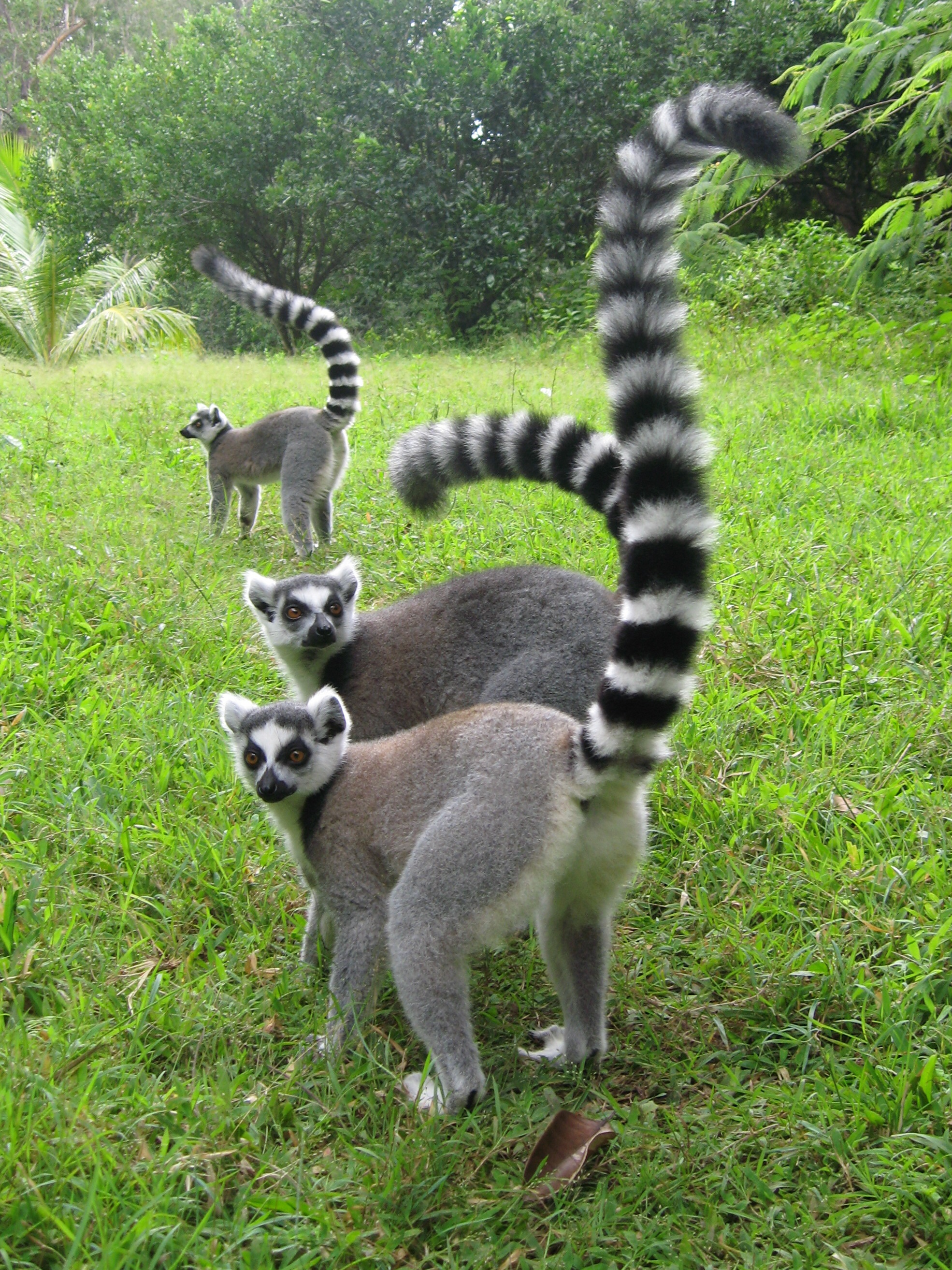 The ring-tailed lemur ...