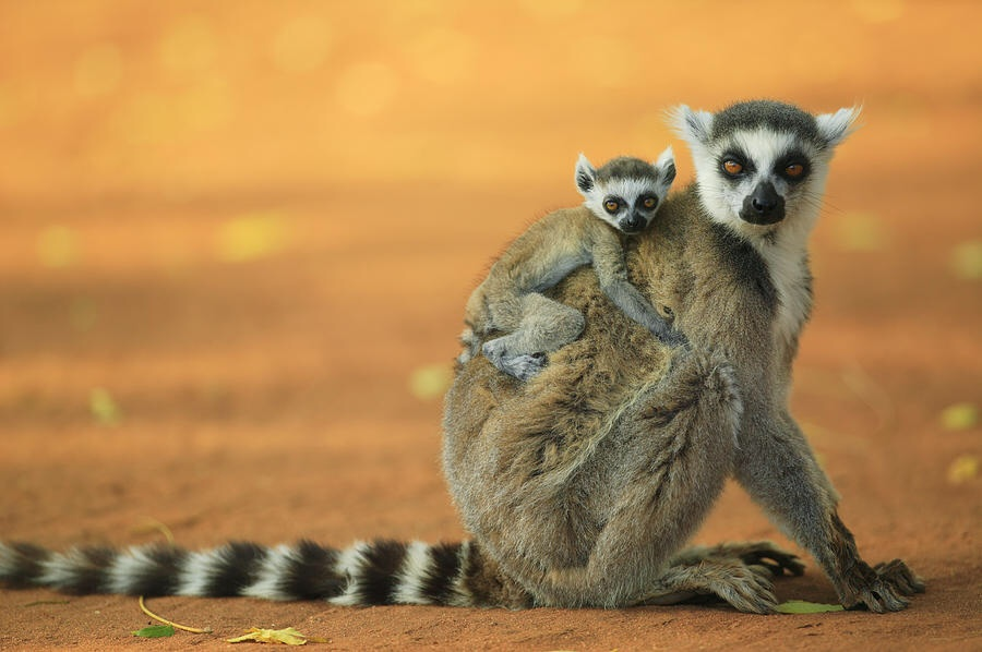 Baby Ring Tailed