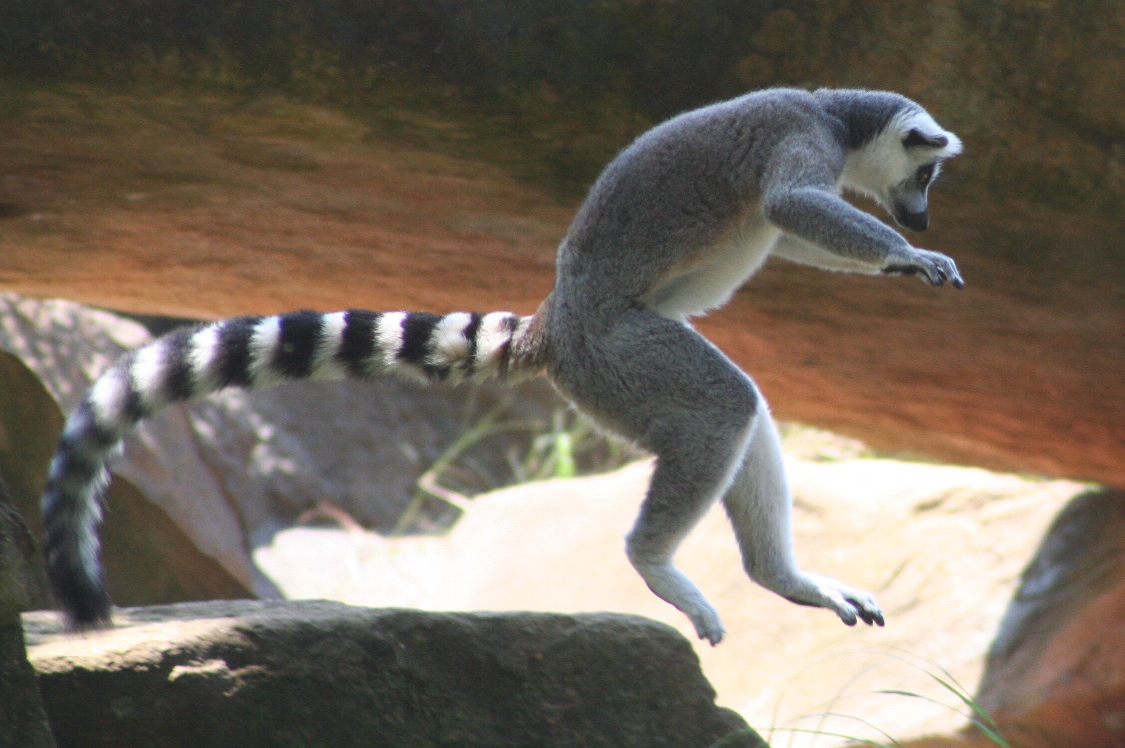 Weird Facts About Ring Tailed Lemurs