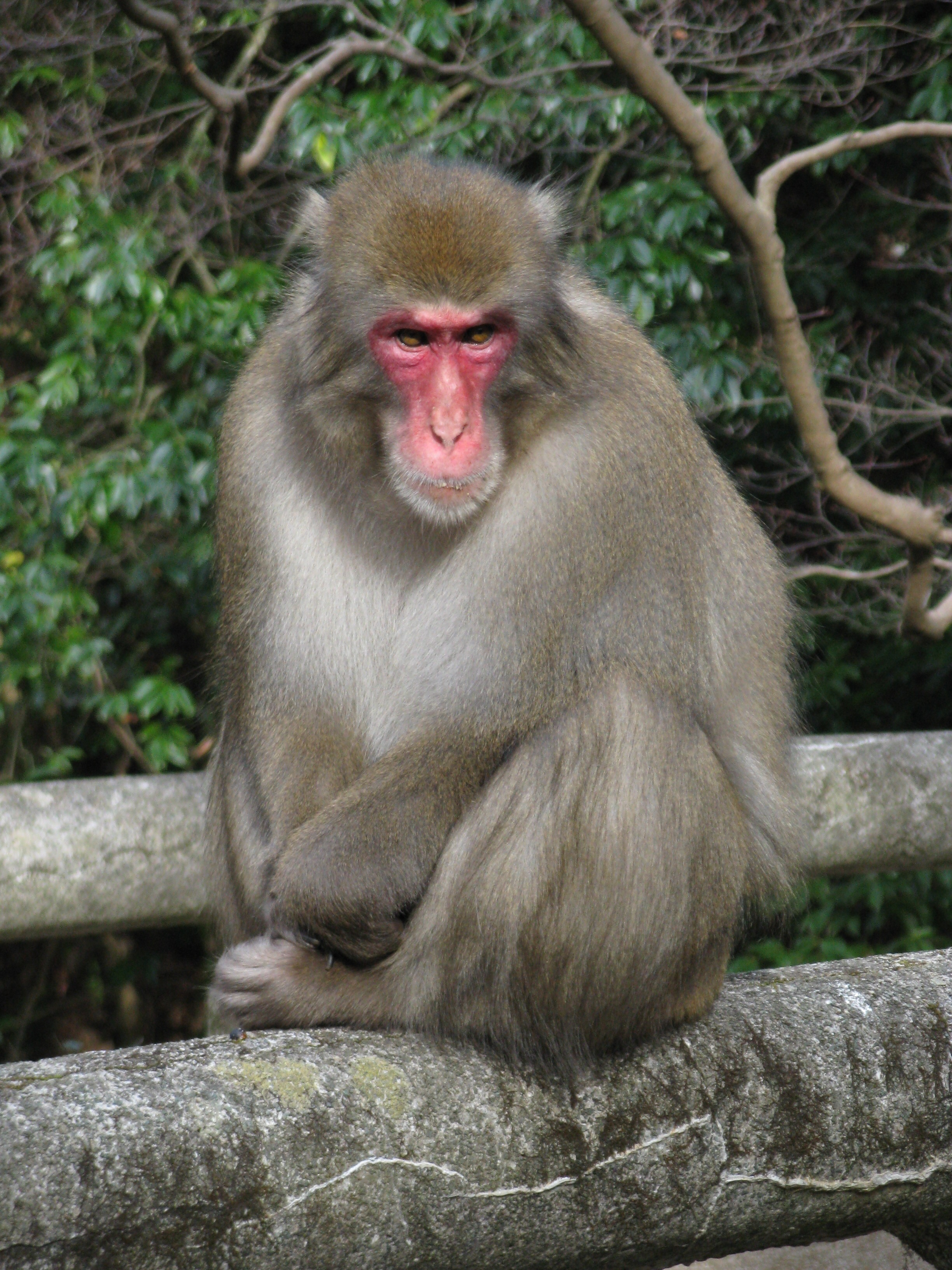 Japanese macaques predators predators sex offenders