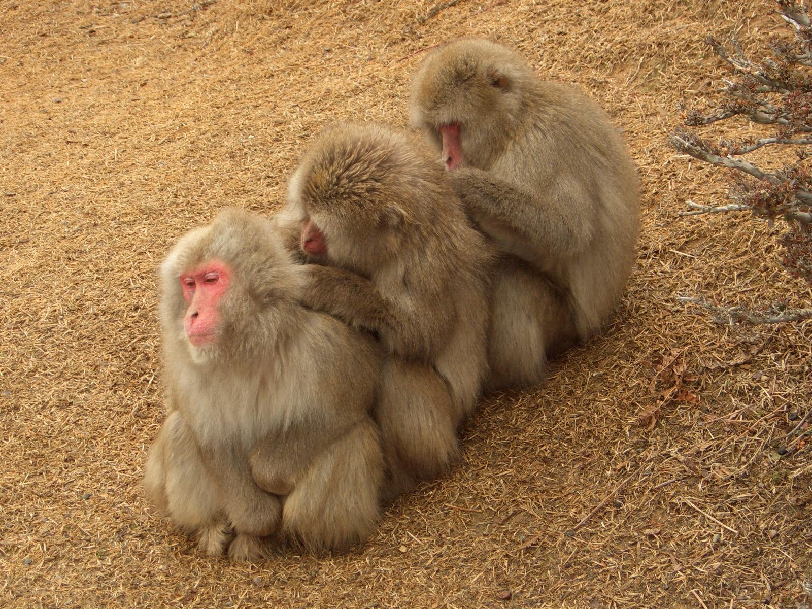 Japanese macaques predators predators sex offenders