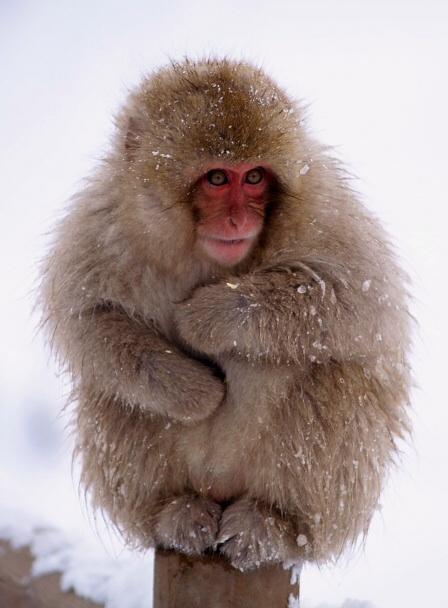 Japanese Snow Monkeys. (Japanese Macaque)   PARENTS ... - photo#7